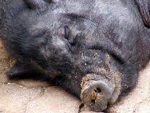 2头猪休眠 图库摄影