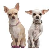 2 11 gammala två år för chihuahuasmånader Royaltyfri Foto