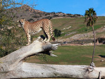 南2个非洲人的猎豹 免版税库存照片