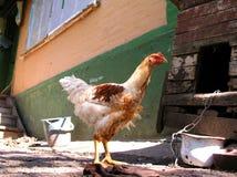 2鸡 免版税库存照片