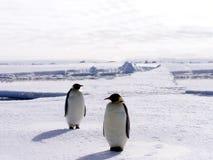 2只南极洲企鹅 免版税库存图片