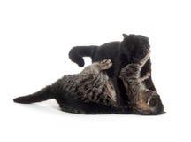 коты воюя играющ 2 стоковое изображение