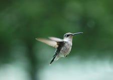 2哼唱着的鸟 免版税库存图片