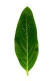 листья 2 Стоковая Фотография RF
