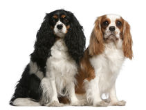 2 3骑士查尔斯国王西班牙猎狗年 免版税库存照片