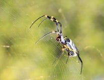 Опасные насекомые от Африки - золотистого спайдера 2 ткача паутины шара Стоковое фото RF