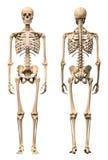 Мужской человеческий скелет, 2 взгляда, фронт и задняя часть. Стоковая Фотография RF
