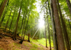 山毛榉和杉木从底视图2 库存图片