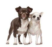 2 4奇瓦瓦狗老常设年 免版税图库摄影