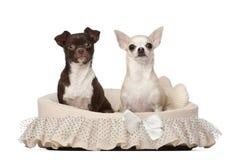 2 4 gammala sittande år för chihuahuas Royaltyfria Bilder