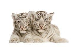 2个崽月老虎白色 库存图片