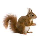 2欧亚红色中型松鼠灰鼠寻常的年 免版税库存图片
