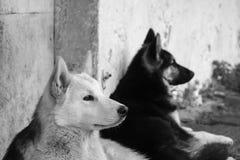 собаки 2 Стоковые Фотографии RF