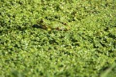 2 żaba Obrazy Royalty Free