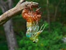 2 aborning cykada Obrazy Stock