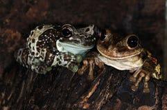 2 żaby dwa Zdjęcia Royalty Free