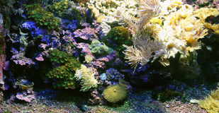 2 actiniaskoraller Arkivbild