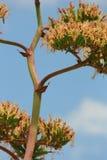 2 agava okwitnięcia błękit Fotografia Royalty Free