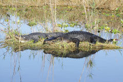 2 alligatoramericanpar Royaltyfria Bilder