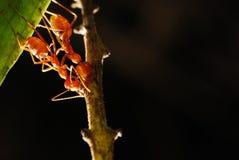 2 Ameisen auf einem Blatt Stockfotos