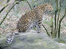 2 amur leopard Στοκ Εικόνες