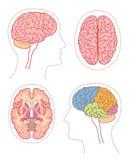 2 anatomia mózg Fotografia Royalty Free