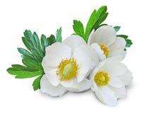 2 anemonblommor isolerade white Arkivbilder