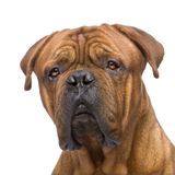 2 ans de bordeaux de dogue Photographie stock