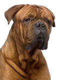 2 ans de bordeaux de dogue Photo stock