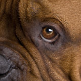 2 ans de bordeaux de dogue Image stock