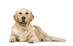 2 ans de chien d'arrêt d'or Image stock