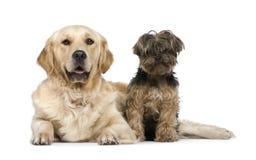 2 ans Yorkshire de chien terrier de chien d'arrêt d'or Photographie stock libre de droits