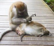 2 apen het schoonmaken Stock Fotografie