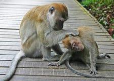 2 apen het schoonmaken Royalty-vrije Stock Afbeelding