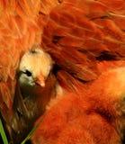 2 aracauna小鸡 免版税图库摄影
