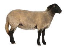 2 år för suffolk för får för ovis för arieskvinnlig gammala Arkivfoton