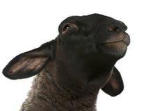2 år för suffolk för får för ovis för arieskvinnlig gammala Royaltyfri Foto