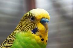 2 australijczyków zielona macro papuga Obrazy Royalty Free