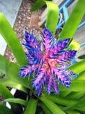 2 błękit bromeliad kwiat Fotografia Royalty Free