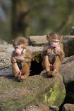 2 baby baboons. 2 baby hamadryas baboons sitting royalty free stock image