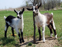 2 baby goats or kids. 2 baby goats or also called kids scratching by a tree and observing their whereabouts Stock Photo