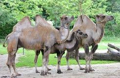 2 bactrian kamel Royaltyfria Bilder