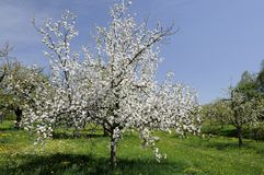 2 baden开花的果树园 图库摄影