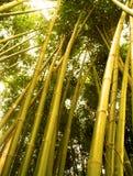 2 bambusów drzewo Fotografia Royalty Free