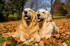 2 beautiful Golden Retrievers on autumn leaves. 2 adult GR dogs lying on fallen autumn fall leaves Royalty Free Stock Photos