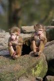 2 behandla som ett barn baboons Royaltyfri Bild