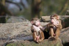 2 behandla som ett barn baboons Arkivbilder