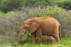 2 behandla som ett barn elefantmodern Arkivfoto
