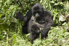 2 behandla som ett barn gorillamodern Arkivfoto