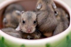 2 behandla som ett barn hamsteren Arkivbild